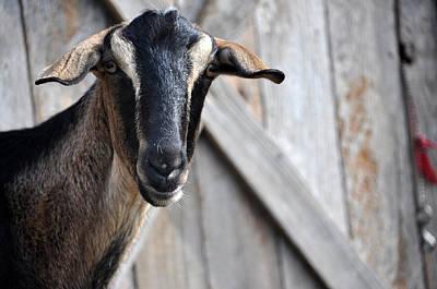 Photograph - Goat Stare by Teresa Blanton