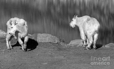 Photograph - Goats In The Rockies by David Bearden