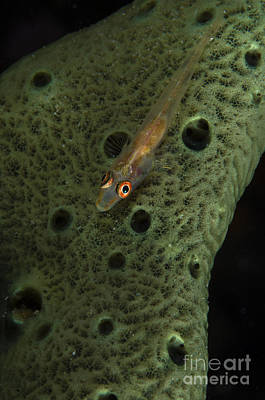 Thomas Kinkade Royalty Free Images - Goby On A Sponge, Fiji Royalty-Free Image by Todd Winner