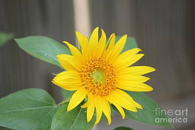 God's Sunflower Art Print