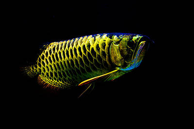 Photograph - Gold Arowana03 by Chua  ChinLeng