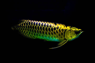 Photograph - Gold Arowana06 by Chua  ChinLeng