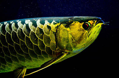Photograph - Gold Arowana10 by Chua  ChinLeng