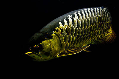 Photograph - Gold Arowana11 by Chua  ChinLeng