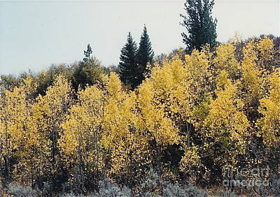 Photograph - Golden Aspens Everywhere by Barbara Plattenburg