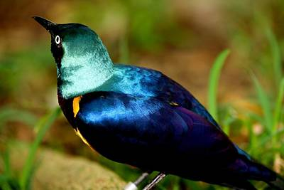 Photograph - Golden-breasted Starling by Elizabeth  Doran