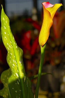 Photograph - Golden Cala Lilly by Barbara Middleton