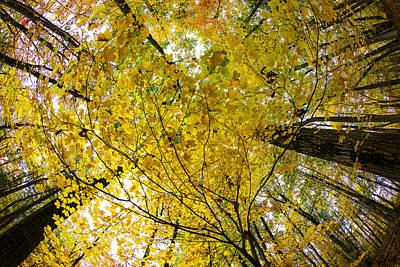 Photograph - Golden Canopy by Rick Berk