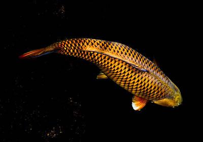 Photograph - Golden Chagoi by Chua  ChinLeng