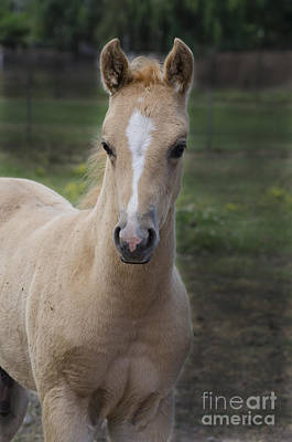 Photograph - Golden Colt by Jim And Emily Bush