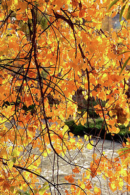 Photograph - Golden Cottonwood by John Brink