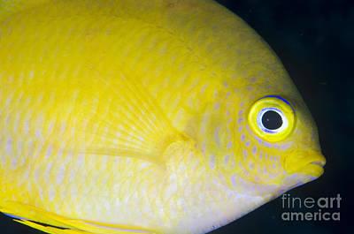 Golden Damsel Close-up, Papua New Art Print by Steve Jones