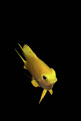 Golden Damsel Fish Art Print by Mat Yie Photography