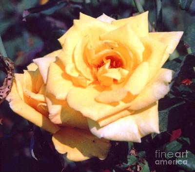 Indiana Photograph - Golden Delight Rose by Alys Caviness-Gober