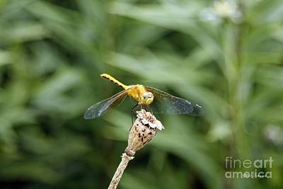 Dragonflys Photograph - Golden Dragonfly by Yumi Johnson