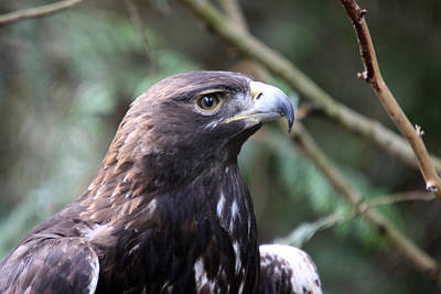 Photograph - Golden Eagle - 0037 by S and S Photo