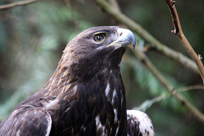 Photograph - Golden Eagle - 0038 by S and S Photo