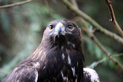 Photograph - Golden Eagle - 0039 by S and S Photo