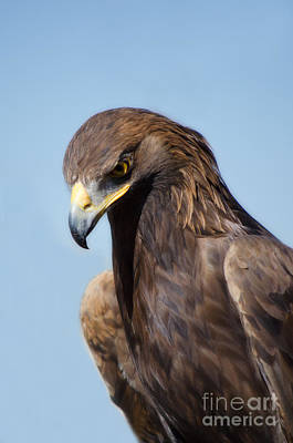 Van Vlack Photograph - Golden Eagle by Donna Greene