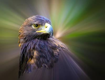 Golden Eagle Fade Art Print by Steve McKinzie