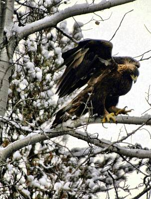 Golden Eagle Stretching Art Print by Don Mann