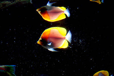 Golden Fish Reflection Art Print