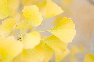 Photograph - Golden Ginko by Margaret Pitcher
