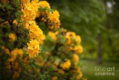 Rhodies Photograph - Golden Glow by Mike Reid