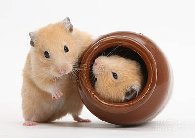 Syrian Hamster Photograph - Golden Hamsters by Mark Taylor