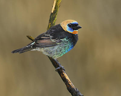 Golden-hooded Tanager Art Print by Tony Beck