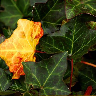 Ivy Photograph - Golden Ivy by LeeAnn McLaneGoetz McLaneGoetzStudioLLCcom