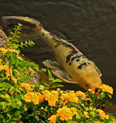 Photograph - Golden Koi by Kirsten Giving