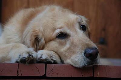 Photograph - Golden Labrador Dog by Irina ArchAngelSkaya
