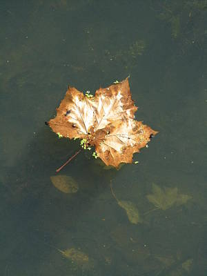 Photograph - Golden Leaf by Todd Sherlock