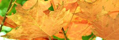 Photograph - Golden Leaves Of Autumn by Bruce Bley