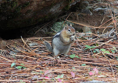 Photograph - Golden Mantled Ground Squirrel - 0001 by S and S Photo