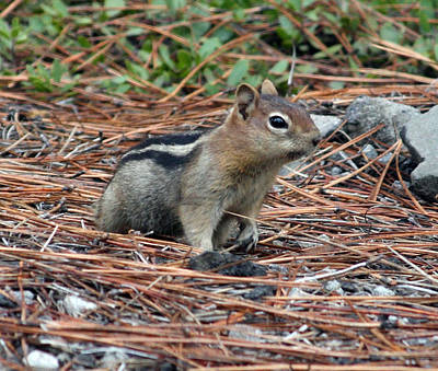 Photograph - Golden Mantled Ground Squirrel - 0002 by S and S Photo