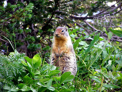 Golden Mantled Ground Squirrel  - Standing Art Print by Mark Caldwell