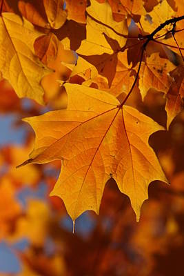 Photograph - Golden Maple by Shari Jardina