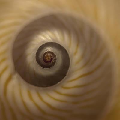 Spiral Photograph - Golden Moon Shell by Carol Leigh