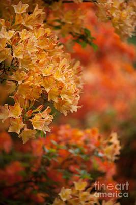 Rhodies Photograph - Golden Orange Radiance by Mike Reid
