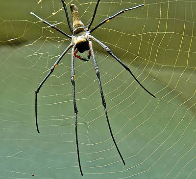 Golden Orb Spider Art Print