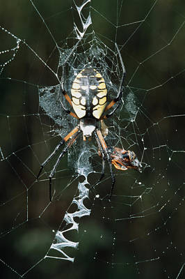 Golden Orb Photograph - Golden Orb Weaver Spider by Georgette Douwma