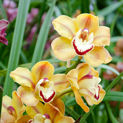 Photograph - Golden Orchids by Margaret Pitcher