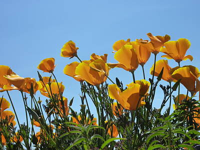 Print featuring the photograph Golden Poppies Basking In The Sun by Cindy Wright