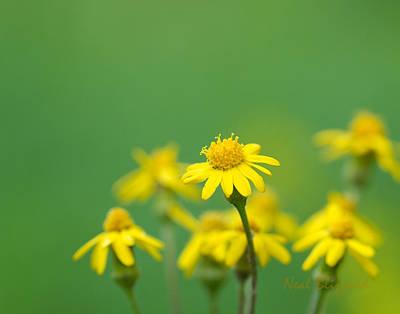 Golden Ragwort Photograph - Golden Ragwort by Neal Blizzard