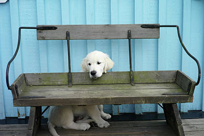 Hiding Photograph - Golden Retrieven Puppy by Mikael Törnwall