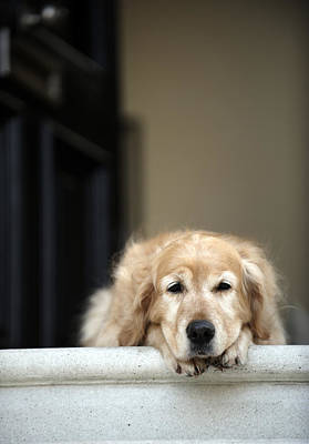 Golden Retriever Dog Lying In Front Door Of House, Looking Away (focus On Foreground) Art Print by Janie Airey