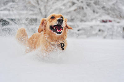 Golden Retriever Dog Running On Fresh Snow Art Print by Maya Karkalicheva