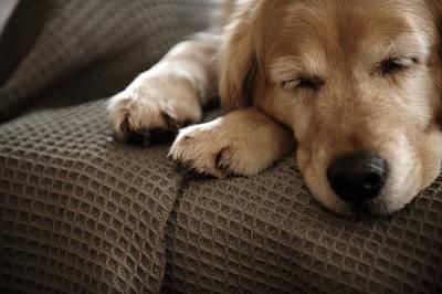Golden Retriever Dog Sleeping On Sofa, Close-up Art Print by Janie Airey